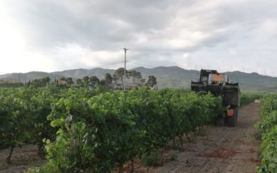 La DO Tarragona avança la verema 15 dies