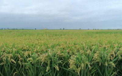 La producció d'arròs al Delta superarà els 130 milions de quilos per tercer any